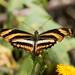 Butterflies-24