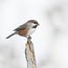 Mésange à tête brune / boreal chickadee