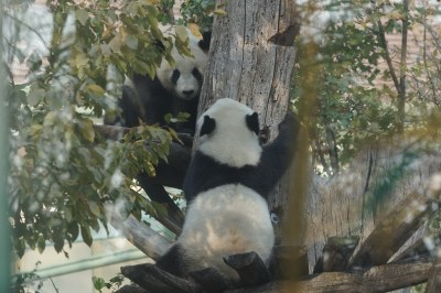 2-year-old Fu Ban and Fu Feng 2018-10-19