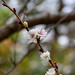 Prunus x subhirtella cv.Autumnalis