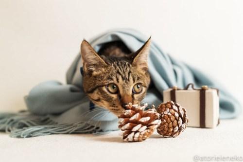 アトリエイエネコ Cat Photographer 31189137847_06cec4fc8c 1日1猫!おおさかねこ倶楽部 里活中のおうくん♪ 1日1猫!  里親募集 茶トラ 猫写真 猫カフェ 猫 子猫 写真 保護猫カフェ 保護猫 ハチワレ ニャンとぴあ サビ猫 キジ猫 カメラ おおさかねこ倶楽部 Kitten Cute cat