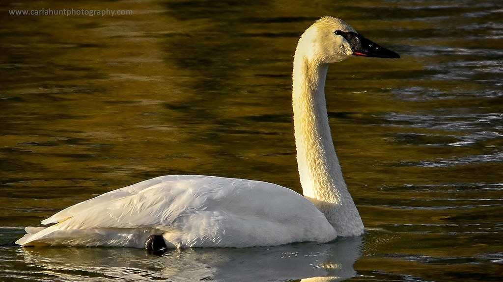 Trumpeter Swan, Shuswap River, Grindrod, BC