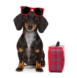 dachshund-sausage-dog-on-summer-260nw-604603679