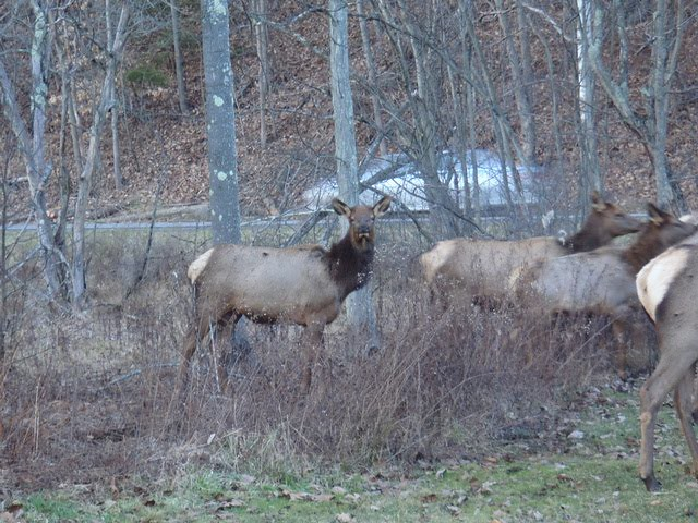 Wapiti in Pennsylvania
