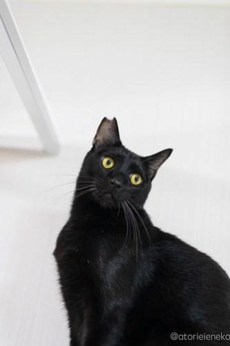 アトリエイエネコ Cat Photographer 44506944040_2684152e0e 1日1猫!保護猫カフェけやきさん! 1日1猫!  里親募集 猫写真 猫カフェ 猫 守口 子猫 写真 保護猫カフェけやき 保護猫カフェ 保護猫 カメラ おおさか Kitten Cute cat