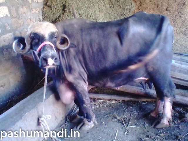Jafarabadi Buffalo for Sale at Junagarh | Pashumandi in