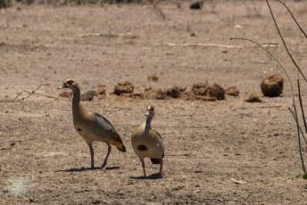 Een Nijlgans (Alopochen aegyptiaca) koppeltje, oftewel de Egyptian Goose.