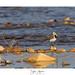 Bergeronnette grise sur les bords de Loire