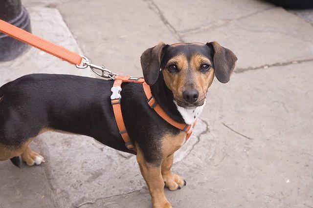 適切な長さのリードでマナーを守って散歩する犬