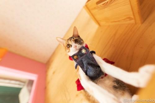 アトリエイエネコ Cat Photographer 45404385534_a4f837c93b 1日1猫!おおさかねこ倶楽部 里活中のネールちゃん♪ 1日1猫!  里親募集 茶トラ 猫写真 猫カフェ 猫 子猫 写真 保護猫カフェ 保護猫 ハチワレ ニャンとぴあ サビ猫 キジ猫 カメラ おおさかねこ倶楽部 photo Kitten Cute cat