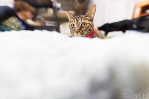 アトリエイエネコ Cat Photographer 44506941030_61461301bc 1日1猫!保護猫カフェけやきさん! 1日1猫!  里親募集 猫写真 猫カフェ 猫 守口 子猫 写真 保護猫カフェけやき 保護猫カフェ 保護猫 カメラ おおさか Kitten Cute cat