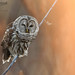 Barred Owl 12_18 1