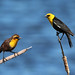 Yellow-headed Blackbird pair
