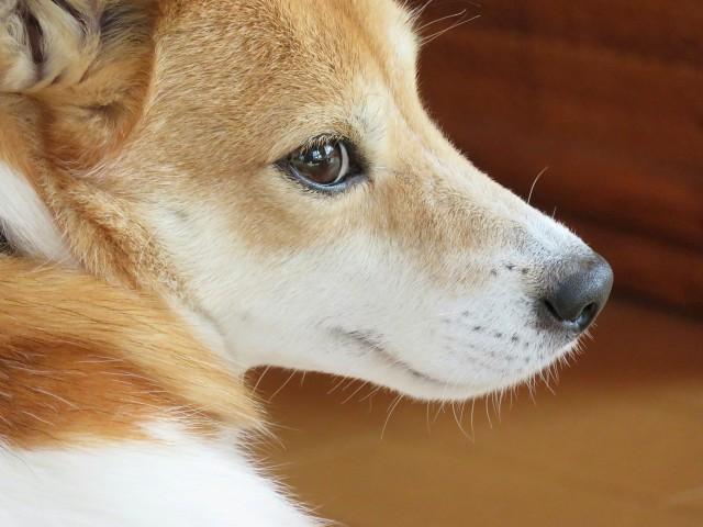 目ヤニがなくきれいな犬