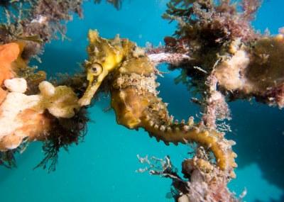 Hippocampus whitei seahorse  on the nets #marineexplorer
