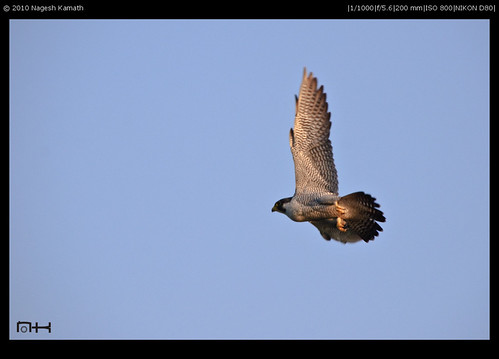A Peregrine Falcon takes off | Kabini