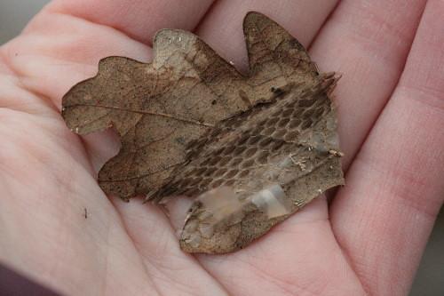 snake skin on leaf