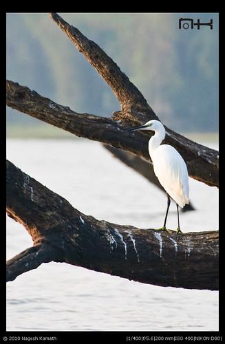 Egret | Kabini