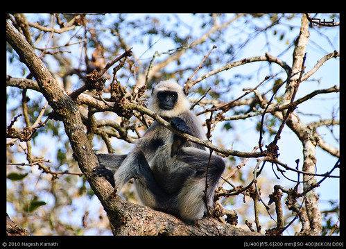 Langur on a tree | Kabini