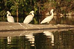Eurasian Spoonbill at Ranganthittu BS