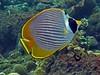 Panda Butterflyfish - Chaetodon adiergastos by divemecressi