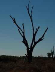 Kissimmee Prairie Tree Silhouette