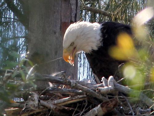 Eaglet feeding 20110123