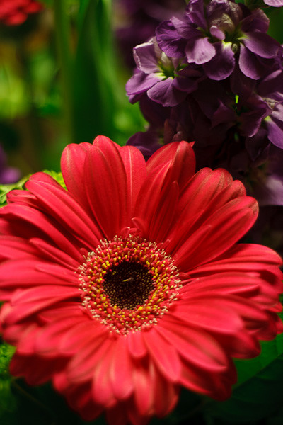 Gerber Daisy in Bouquet