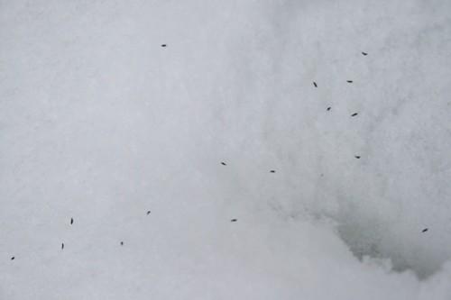 snow fleas