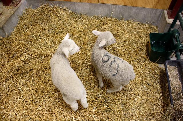 lambs - 5