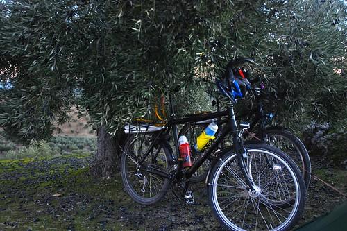 Bikes Under An Olive Tree