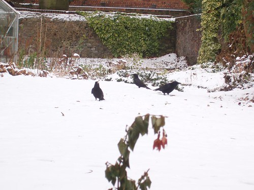 201012230170_snow-garden-crows