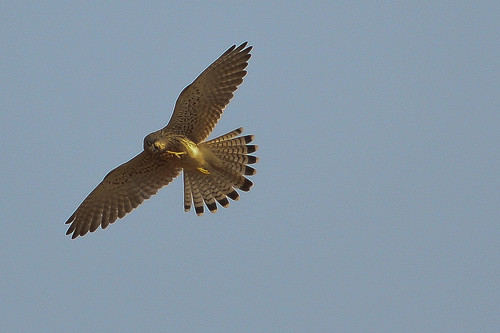 Shikra Female
