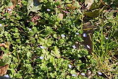 日比谷公園のオオイヌノフグリ