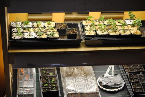 Seedlings in grow lights