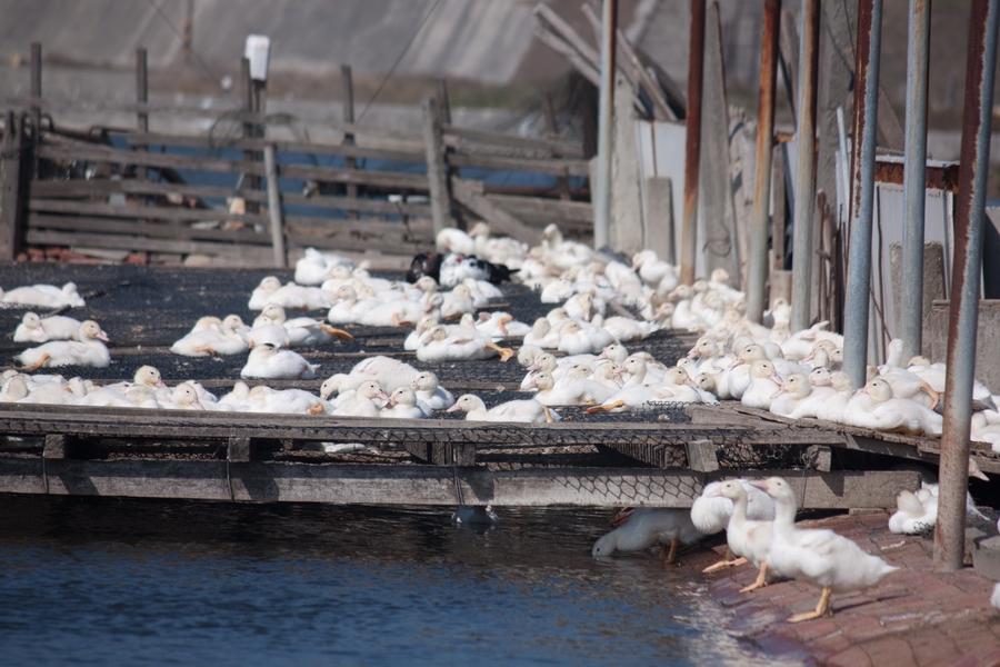 20110205_04_Beautiful Duckling_01