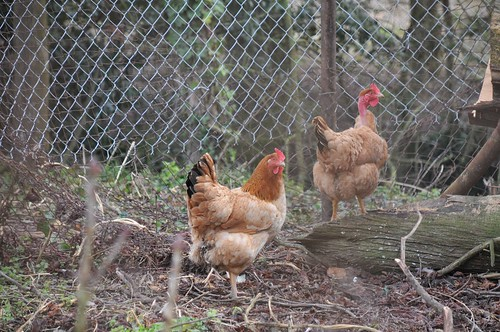 the chooks