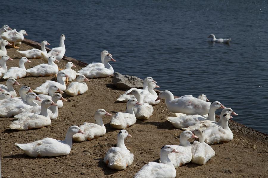 20110205_04_Beautiful Duckling_07