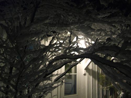snowy spicebush