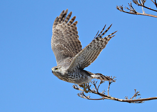 Cooper's Hawk by SearchNetMedia