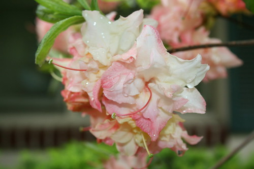 Peach Azalea with raindrops