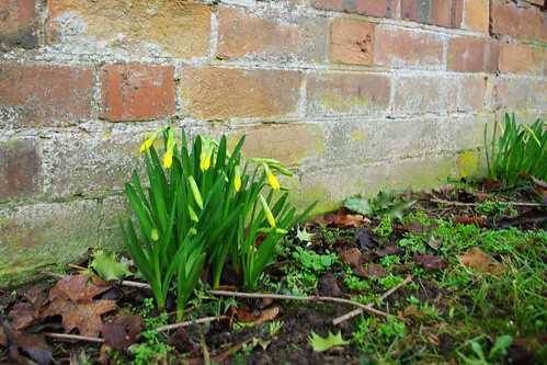 20110220-07_Early Daffodils - Wappenbury by gary.hadden