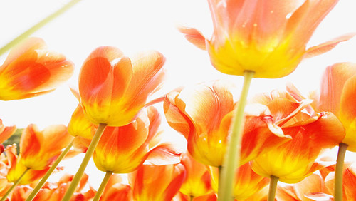 Blooming_Flowers_Wallpapers