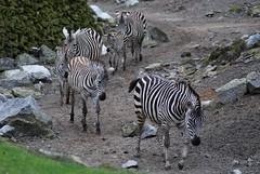 Grant-Zebras im Dierenpark Emmen im April 2010