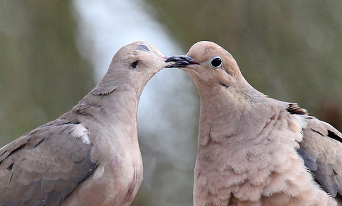Doves in Springtime by SearchNetMedia