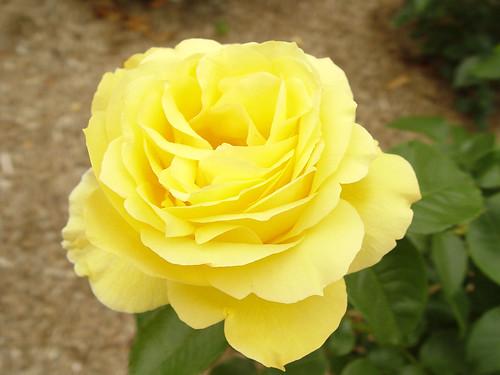 Rose Souvenir de Marcel Proust スーヴニール ドゥ マルセル ...