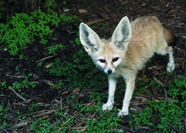 A Day at the Zoo | Fennec Fox