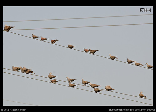 A colony of collared doves