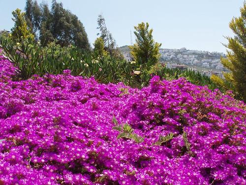 201104230006_helichrysum-flowers