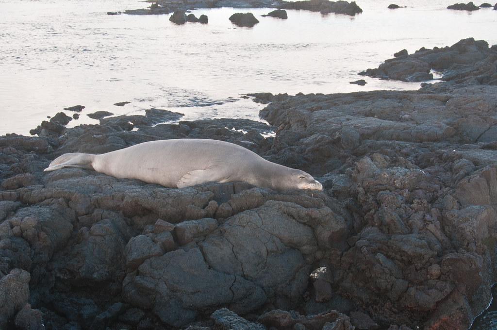 A Hawaiian Monk Seal at Kapoho